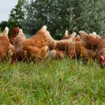 Animal Welfare - Hen welfare