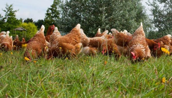 Animal Welfare - Hen welfare