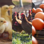 Noble Foods Integrated Egg Supply Chain
